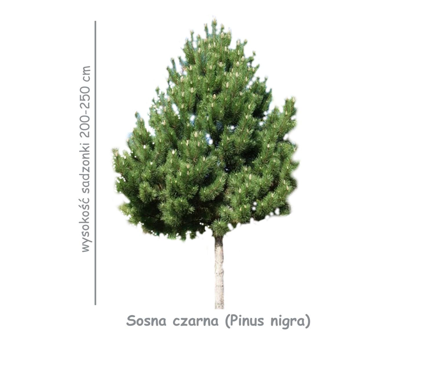 Sosna czarna (Pinus nigra) wysokośc sadzonki 200-250 cm