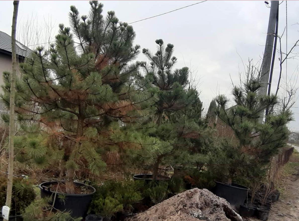 Sosna czarna, duże sadzonki drzew