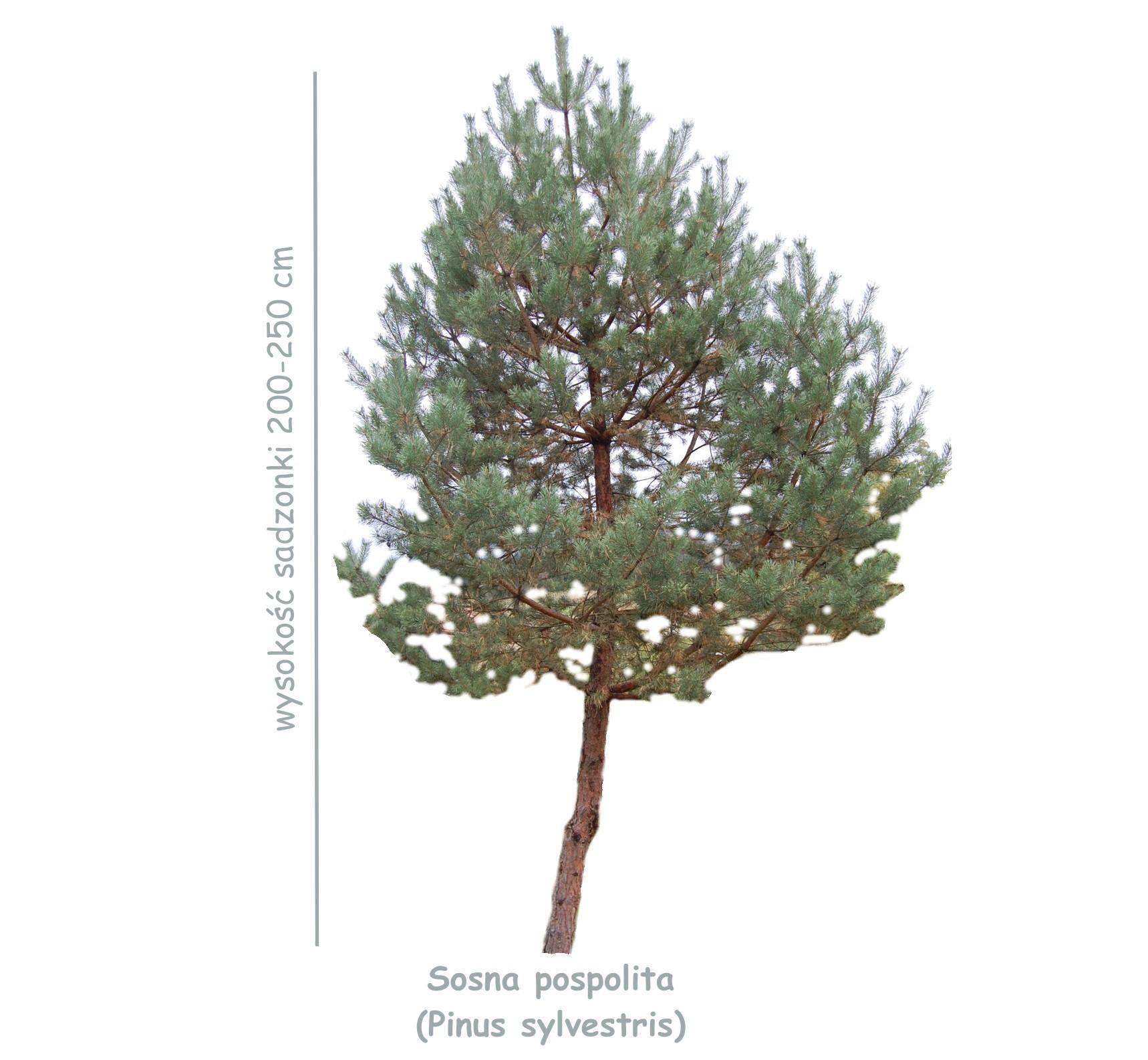 Sosna pospolita (Pinus sylvestris) sadzonka o wysokości 200-250 cm