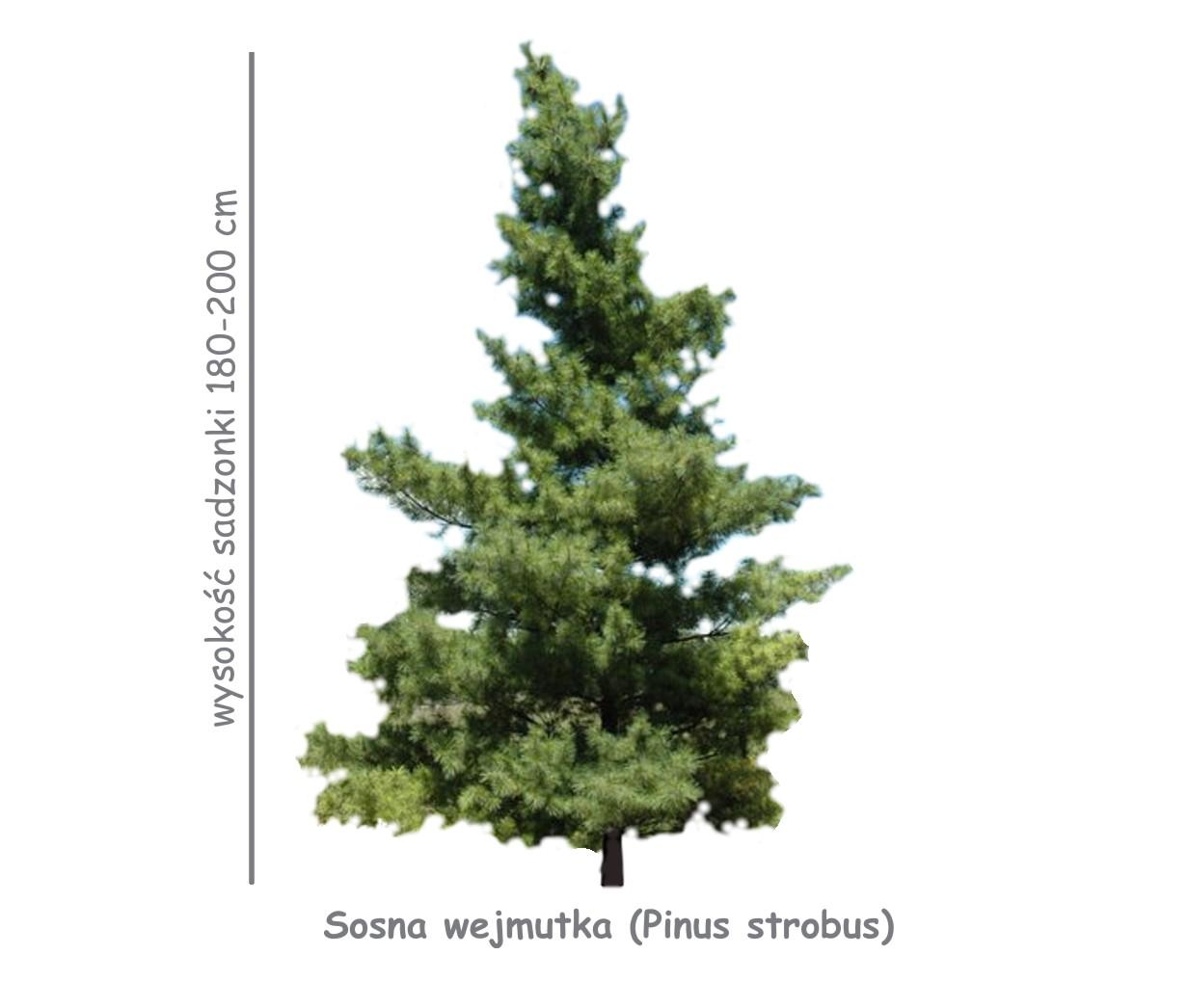 Sosna wejmutka (Pinus strobus) sadzonka o wysokości 180-200 cm