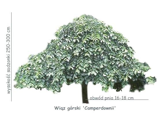 Wiąz górski 'Camperdownii' (Ulmus glabra) sadzonka o obwodzie pnia 16-18 cm.