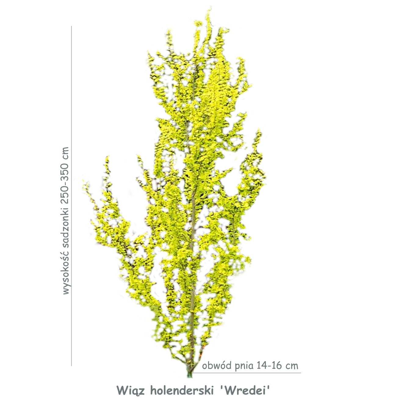 Wiąz holenderski 'Wredei' (Ulmus x hollandica) sadzonka o obwodzie pnia 14-16 cm