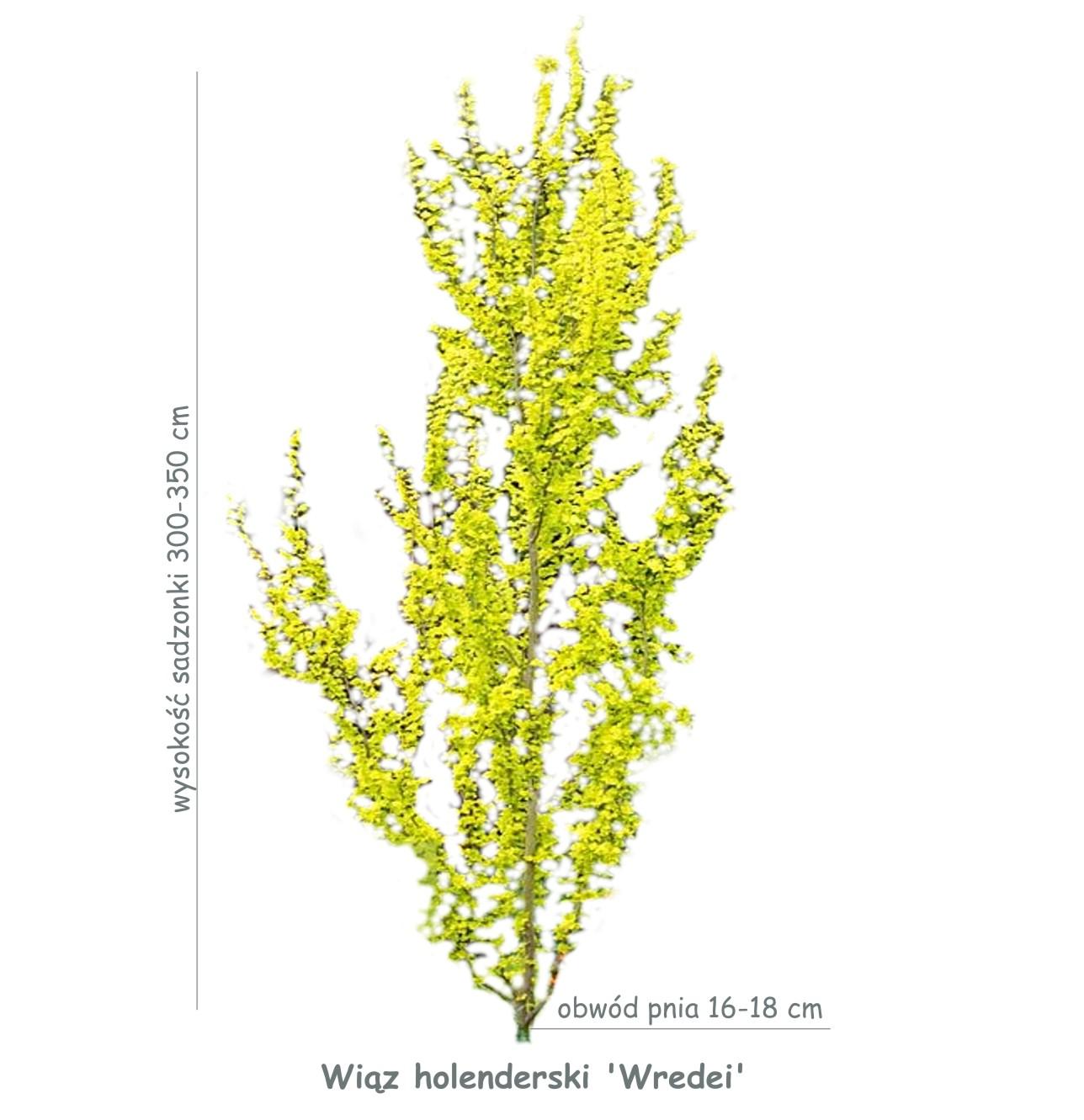 Wiąz holenderski 'Wredei' (Ulmus x hollandica) sadzonka o obwodzie pnia 16-18 cm