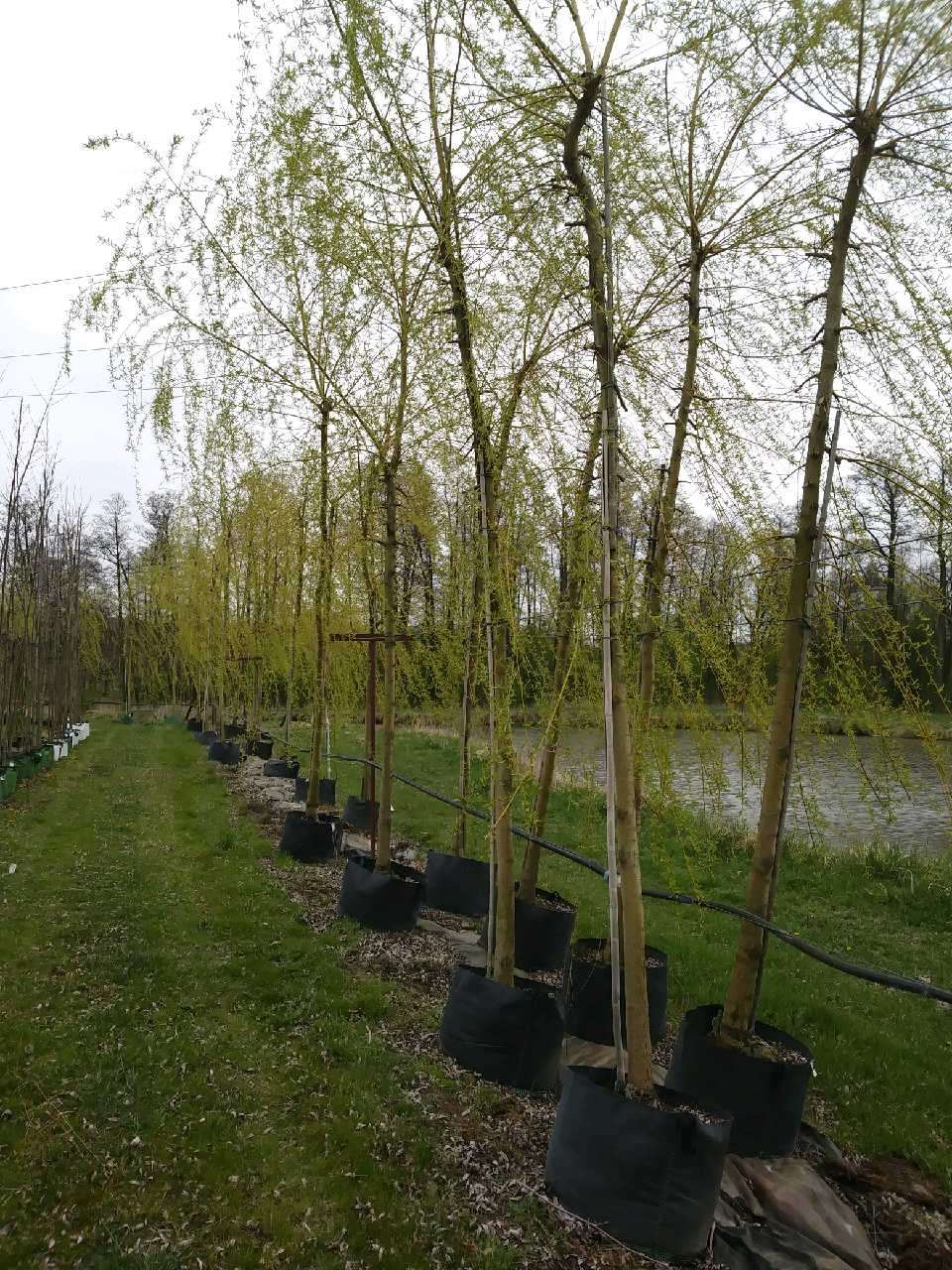wierzba płacząca Chrysocoma, duże sadzonki drzew.