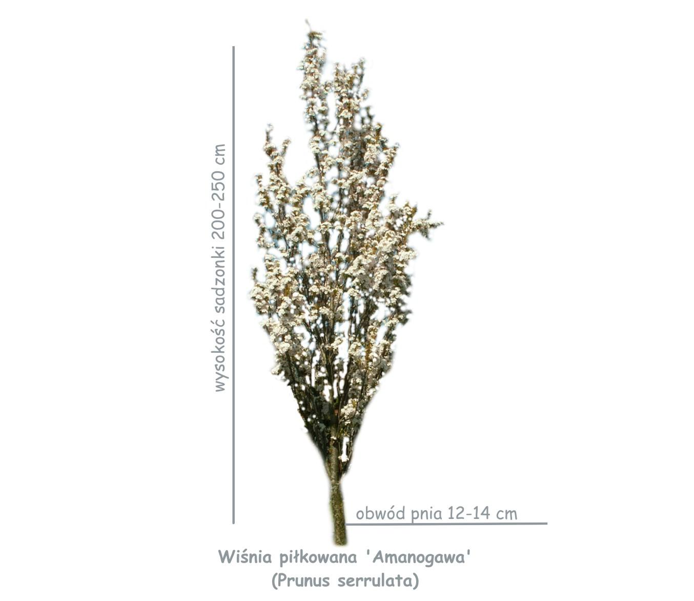 Wiśnia piłkowana 'Amanogawa' (Prunus serrulata) sadzonka o obwodzie pnia 12-14 cm.