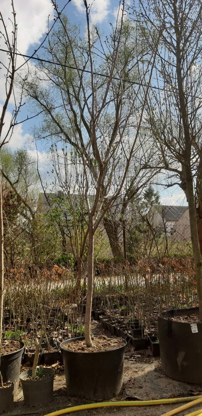 Wiśnia Kanzan, obwód pnia 12-14 cm