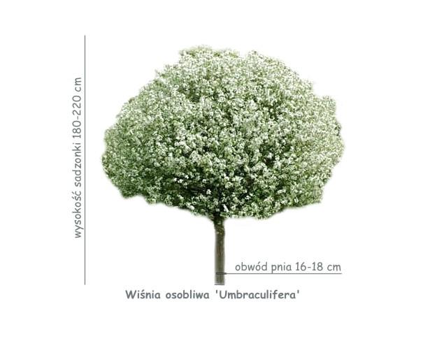 Wiśnia osobliwa 'Umbraculifera' (Prunus x eminens) sadzonka o obwodzie pnia 16-18 cm.