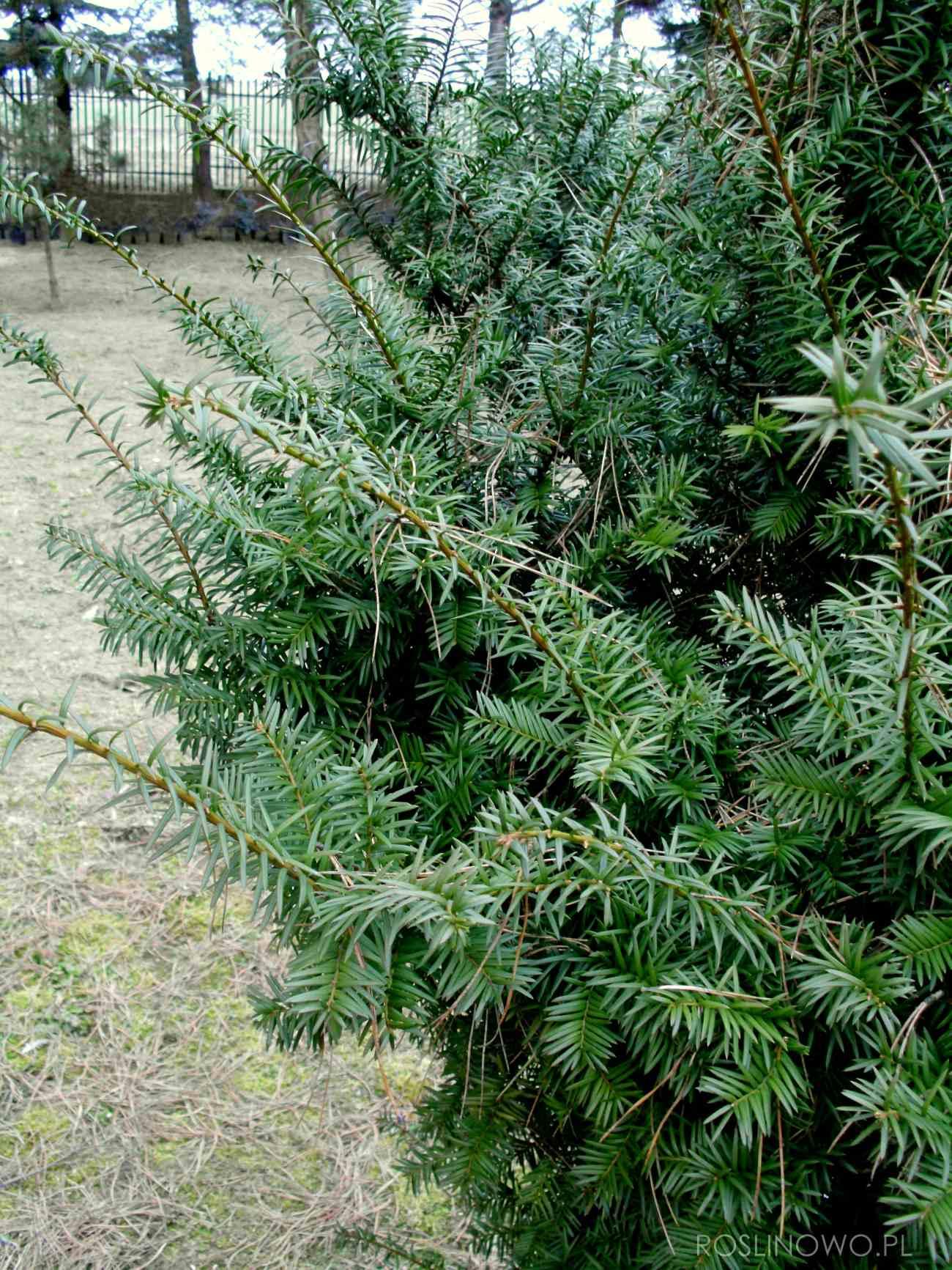 cis pośredni - ozdobny krzew ogrodowy