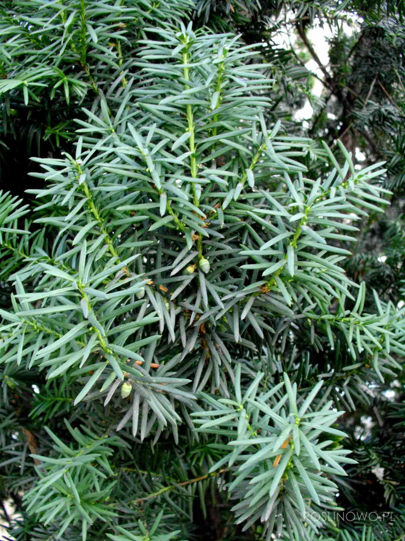 cis pośredni - zimozielony krzew iglasty