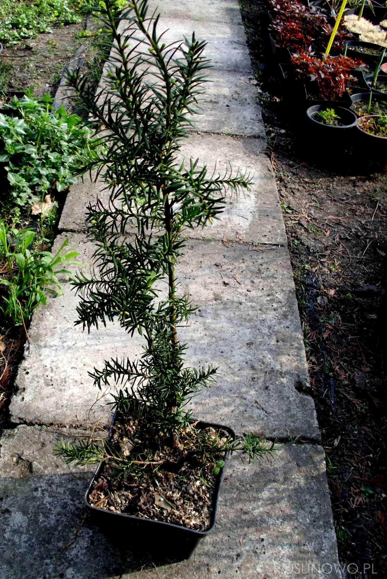 cis pośredni - iglasty krzew ogrodowy o ozdobnym pokroju
