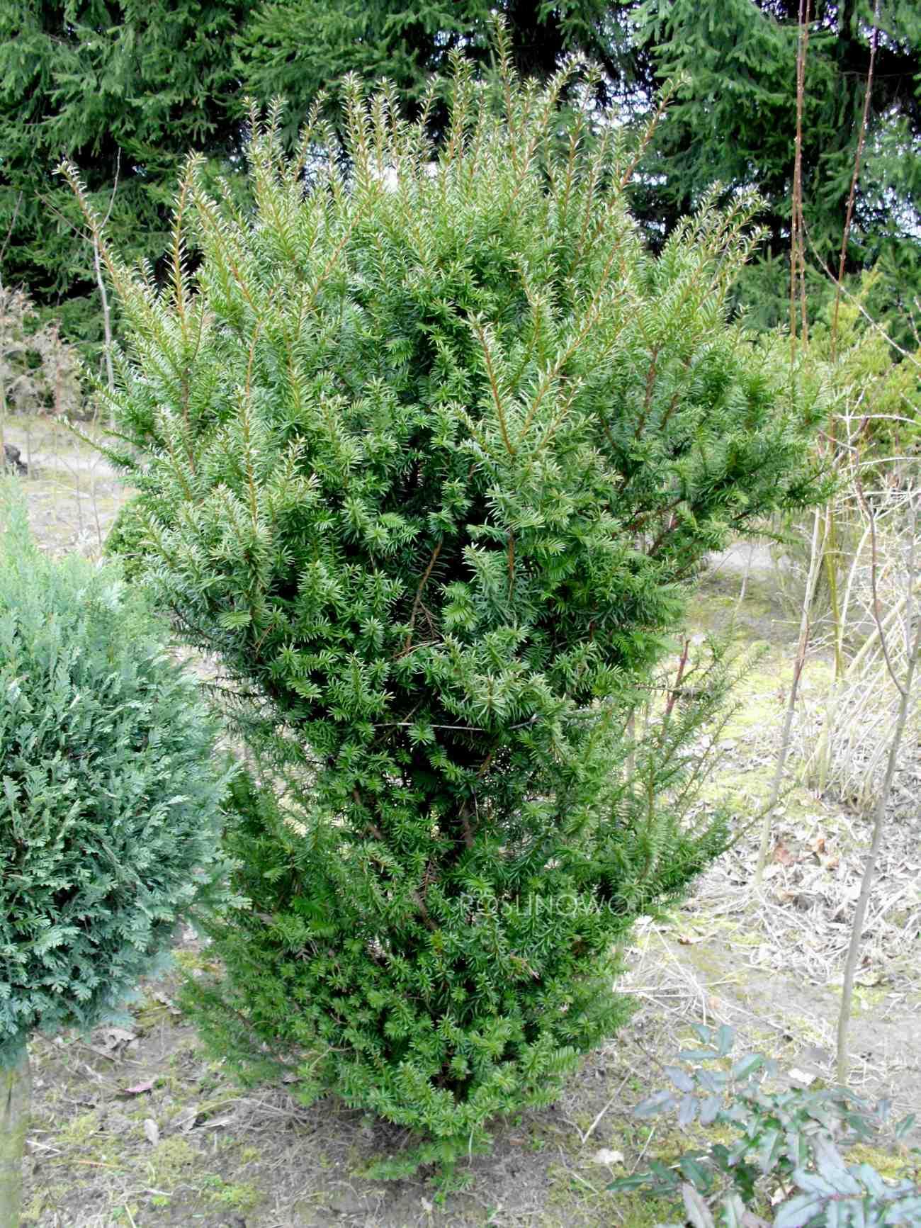 cis pośredni - iglasty krzew ozdobny dorastający do 6 metrów wysokości wytwarzający dekoracyjne owoce