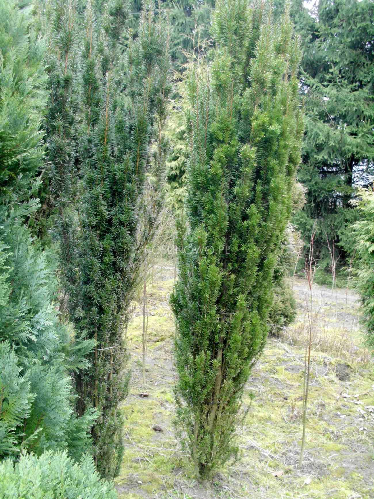 cis wojtek - ozdobny krzew ogrodowy wysoki