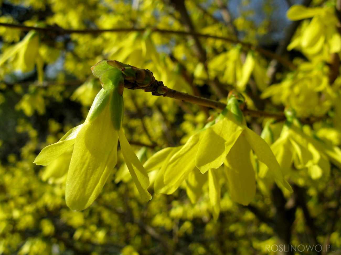 forsycja pośrednia - wiosenny krzew kwitnący