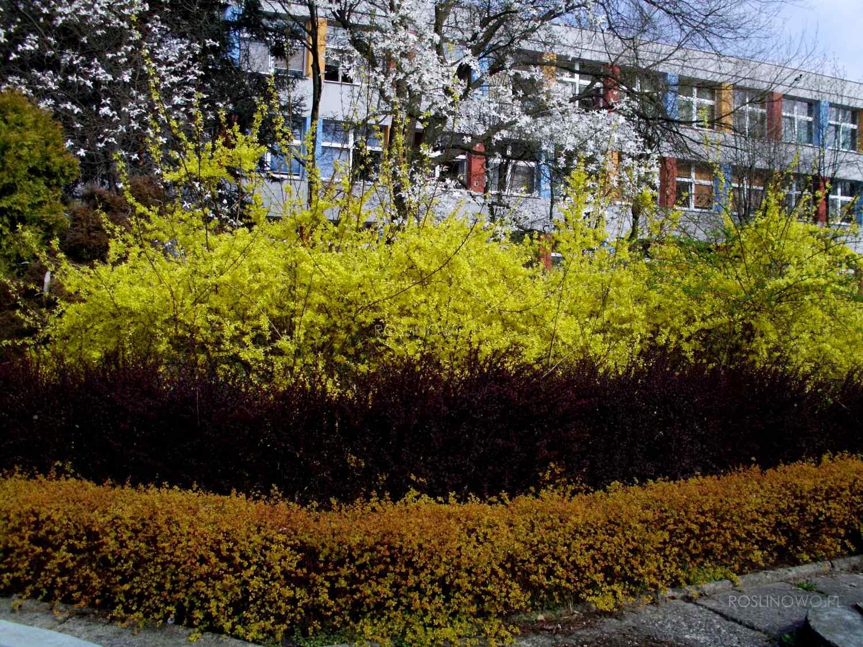 forsycja pośrednia - parkowy krzew ozdobny o żółtych kwiatach