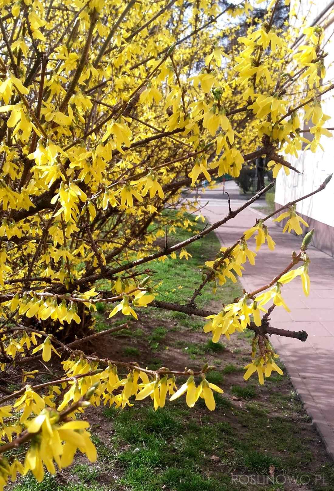 forsycja pośrednia - ozdobny krzew liściasty kwitnący wiosną