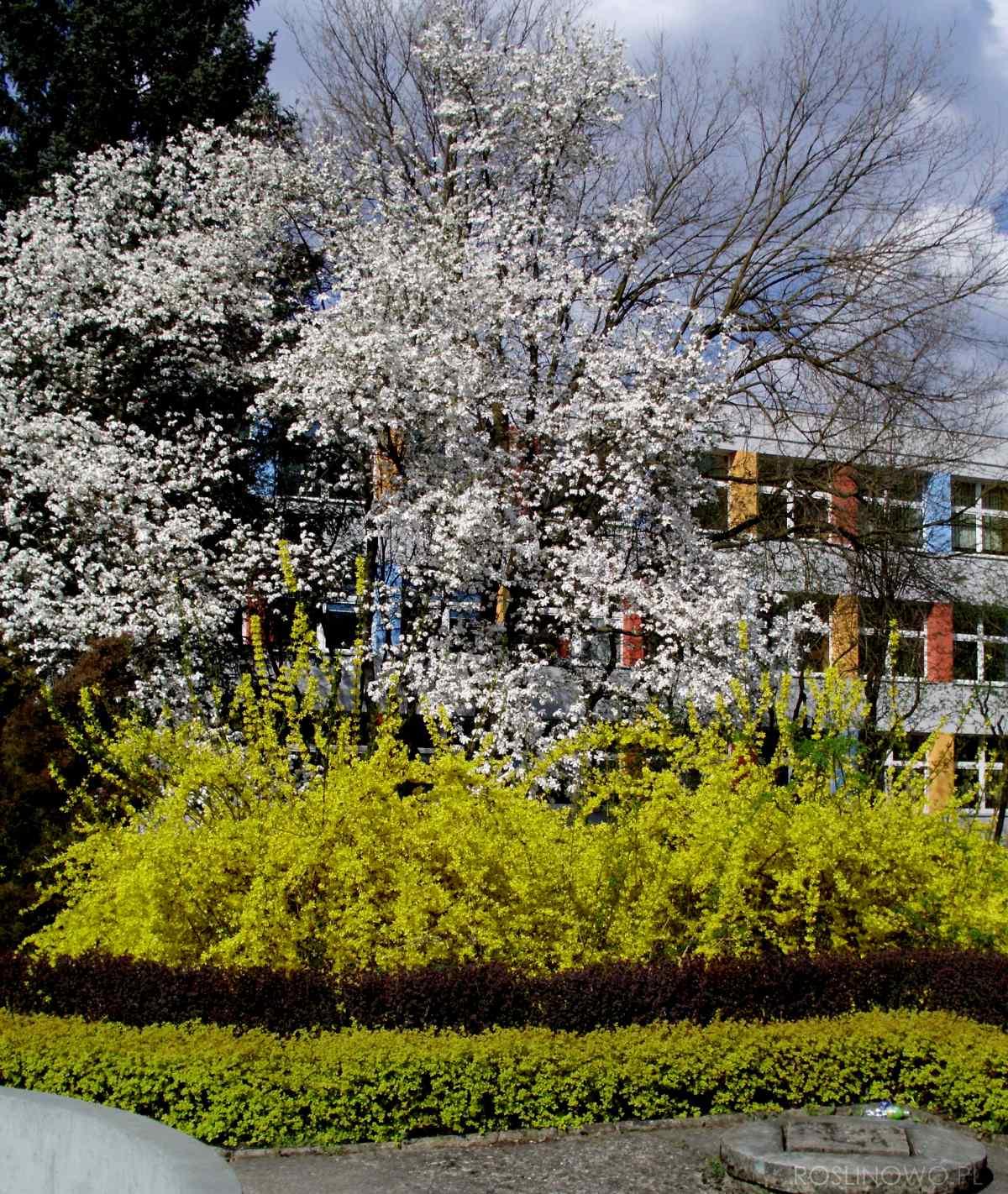 forsycja pośrednia - wieloletnia roślina krzewiasta do ogrodów i parków
