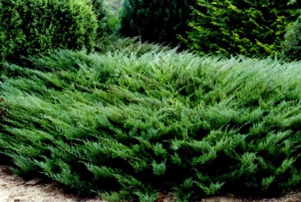 jałowiec sabiński 'Tamariscifolia' - karłowy krzew ozdobny