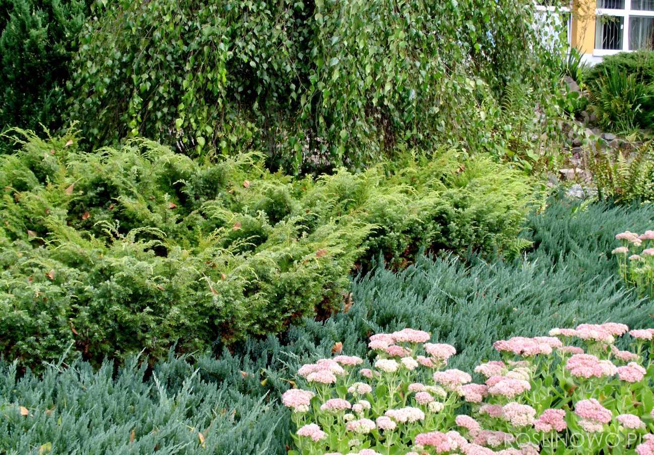 jałowiec tamariscifolia - ozdobny krzew ogrodowy o dekoracyjnym pokroju