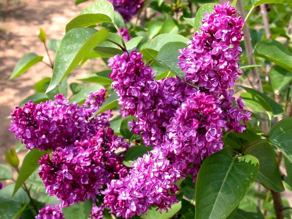 lilak pospolity - krzew ozdobny o intensywnie pachnących kwiatach