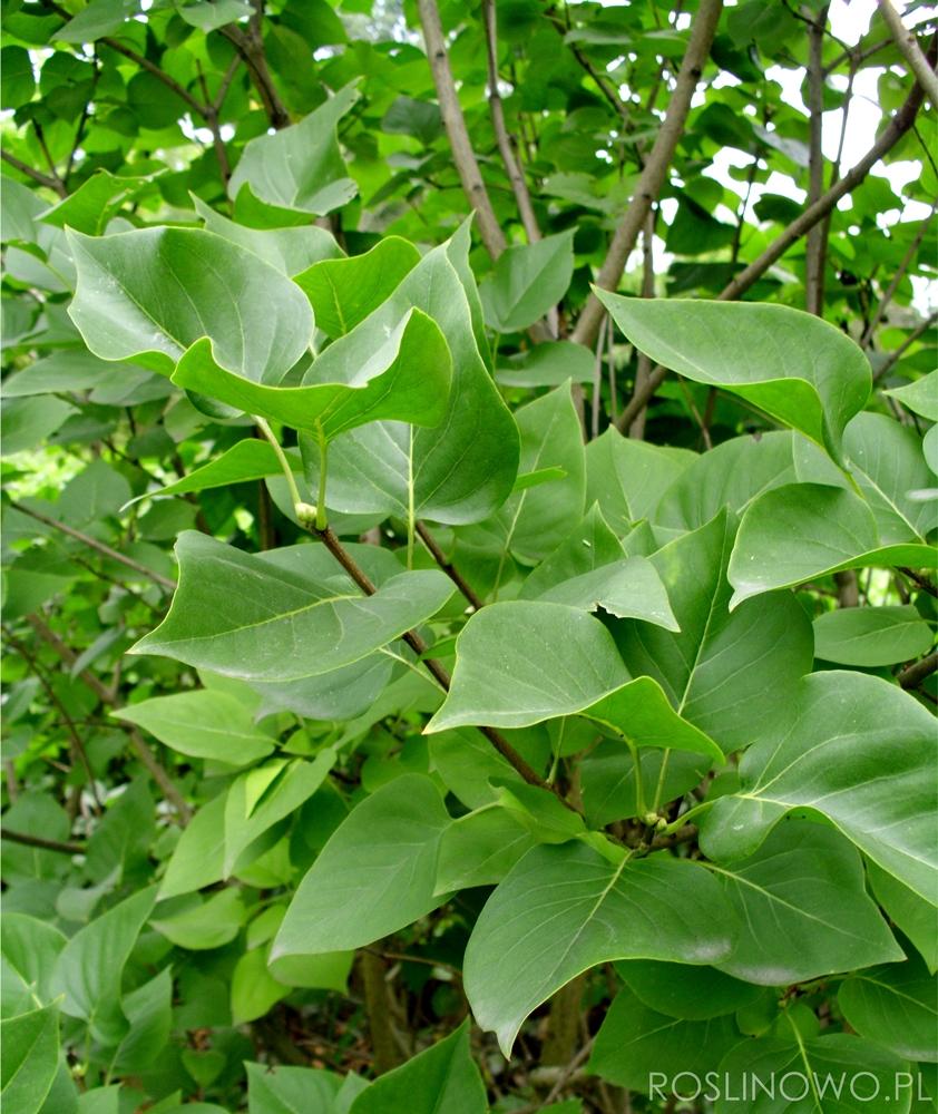 bez lilak - dekoracyjny krzew ogrodowy
