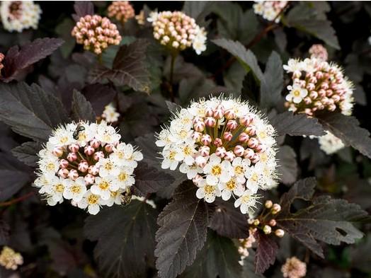 pęcherznica kalinolistna 'Diabolo' - ozdobny krzew o dekoracyjnych liściach
