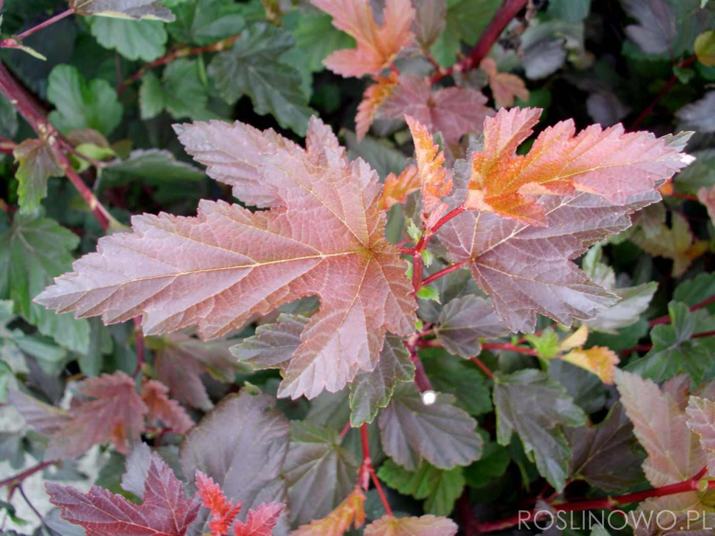 pęcherznica diabolo - krzew ozdobny z liści i kwiatów