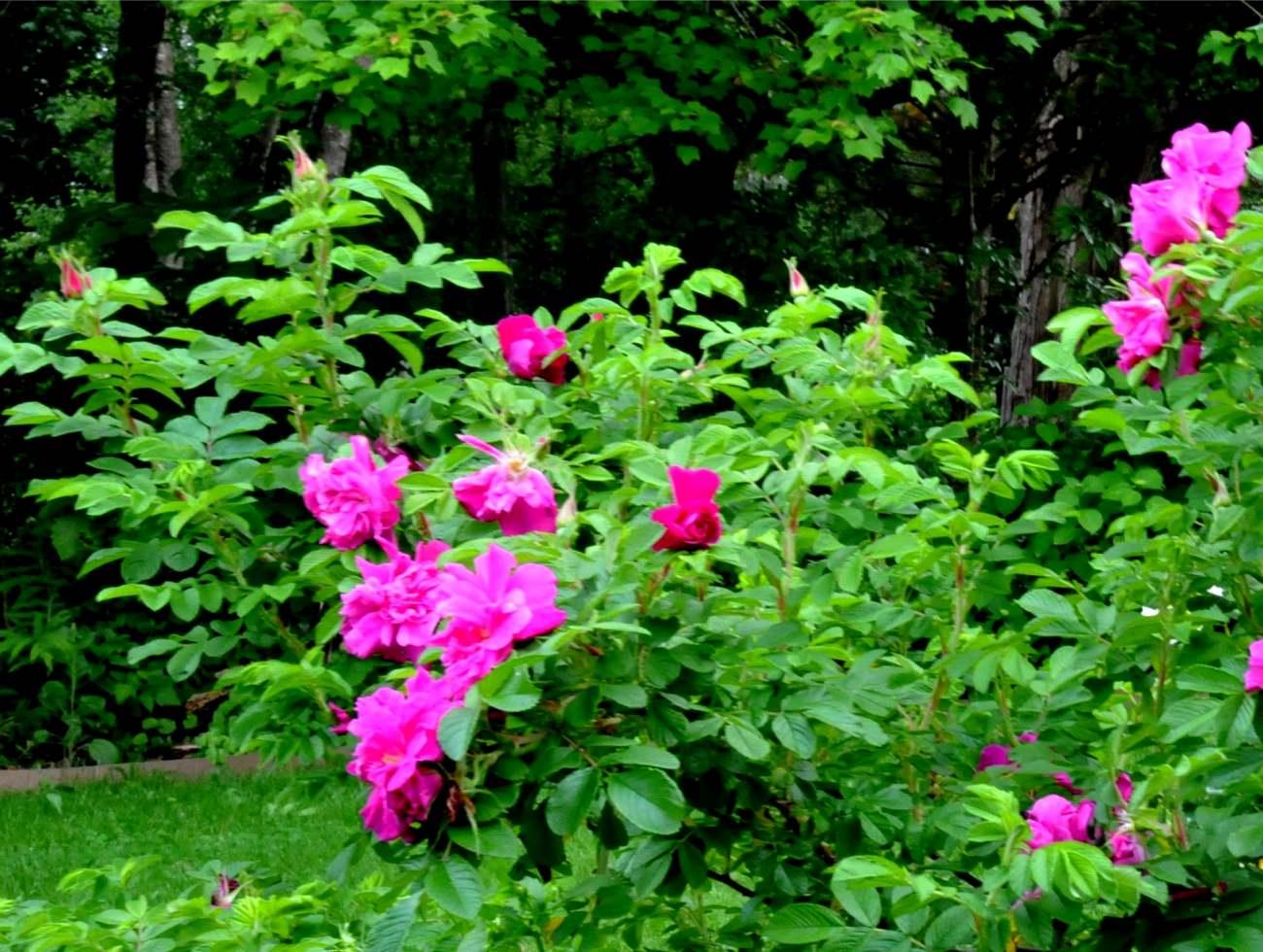 róża pomarszczona - krzew ozdobny z kwiatów i owoców