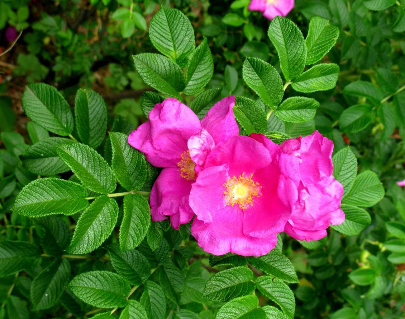 roża pomarszczona - wieloletni krzew ozdobny o różowych kwiatach