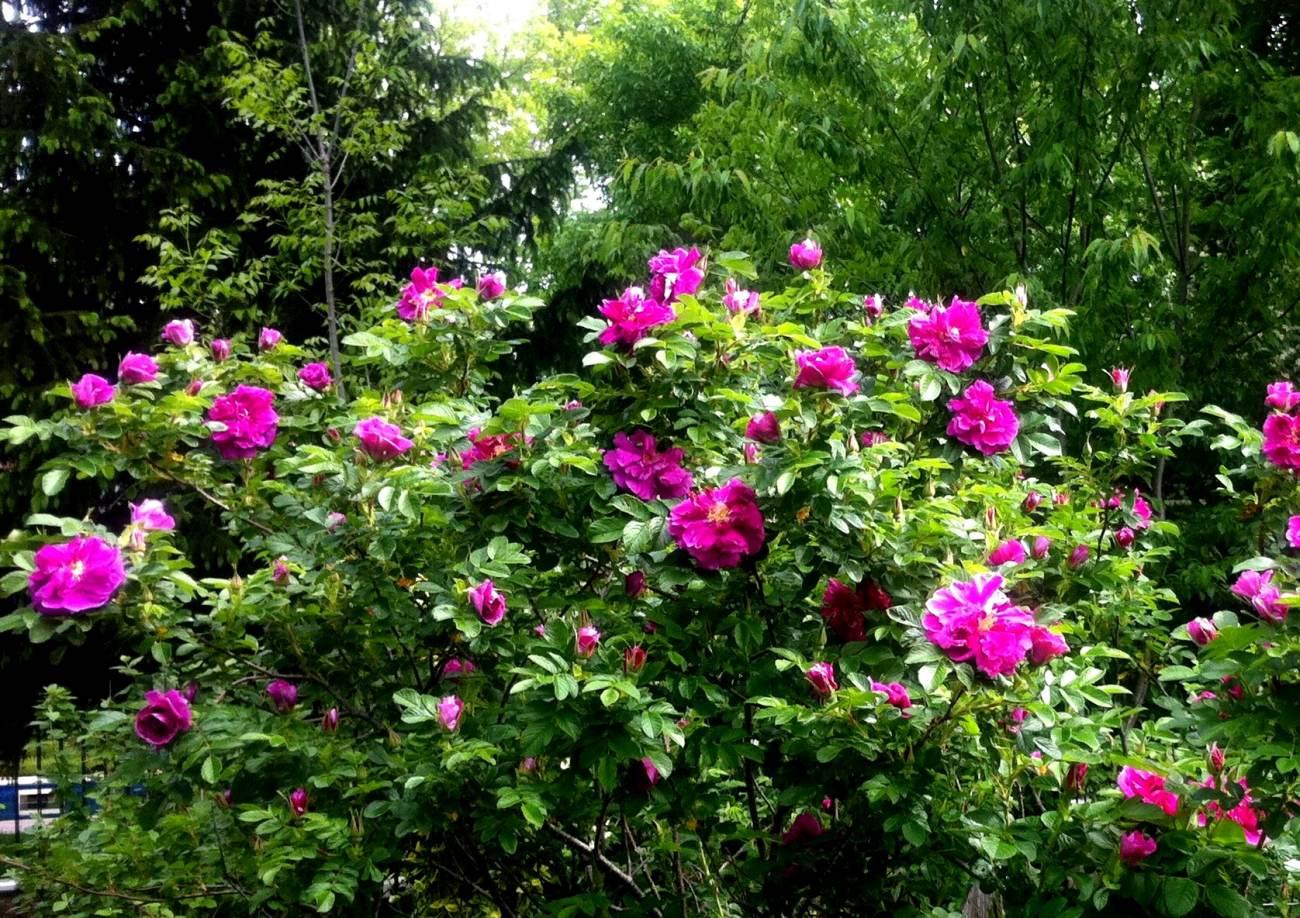 róża pomarszczona - kwitnący krzew ozdobny na stanowiska słoneczne