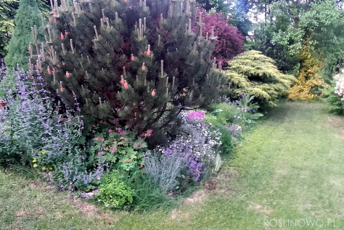 sosna górska - iglasty krzew o wzniesionym pokroju