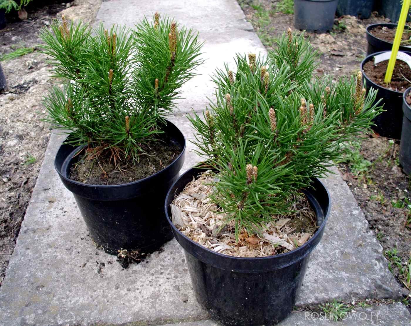 sosna górska - ozdobna roślina krzewiasta o gęstym igliwiu na stanowiska słoneczne