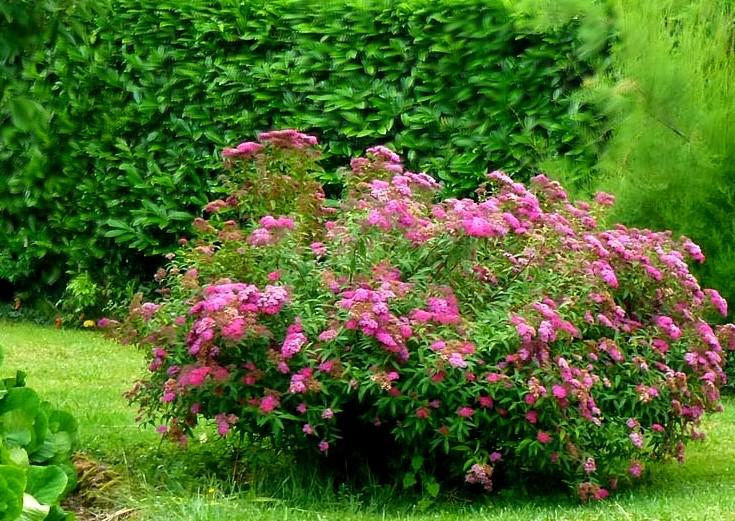 tawuła japońska - ozdobna roślina krzewiasta do ogrodów i na rabaty