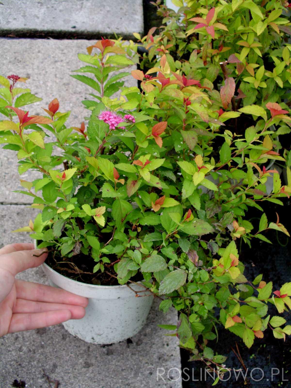 tawuła japońska - sadzonka ozdobnego krzewu ogrodowego do słońca i półcienia