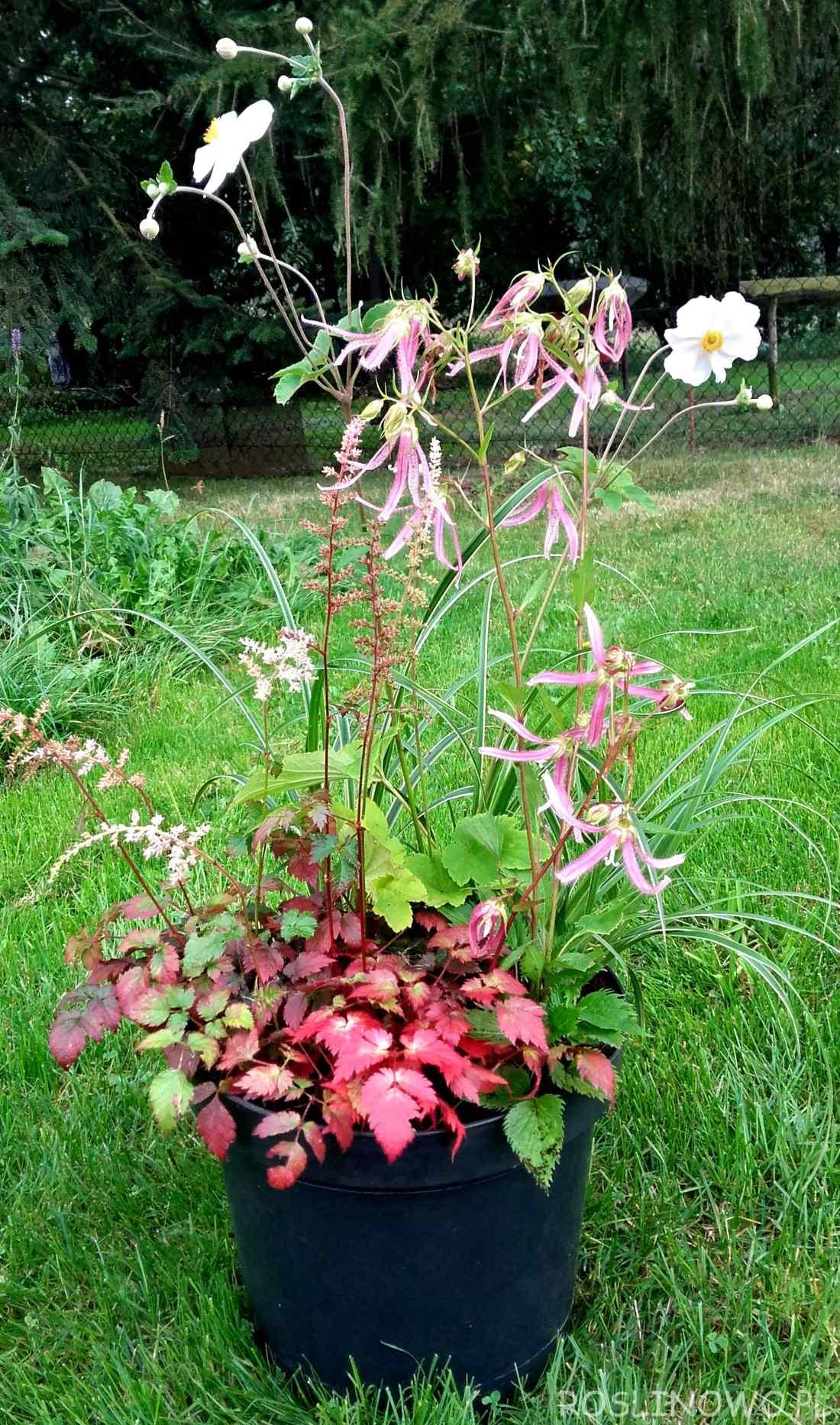 Kompozycja jesienna z bylinami kwitnącymi na przełomie lata i jesieni.