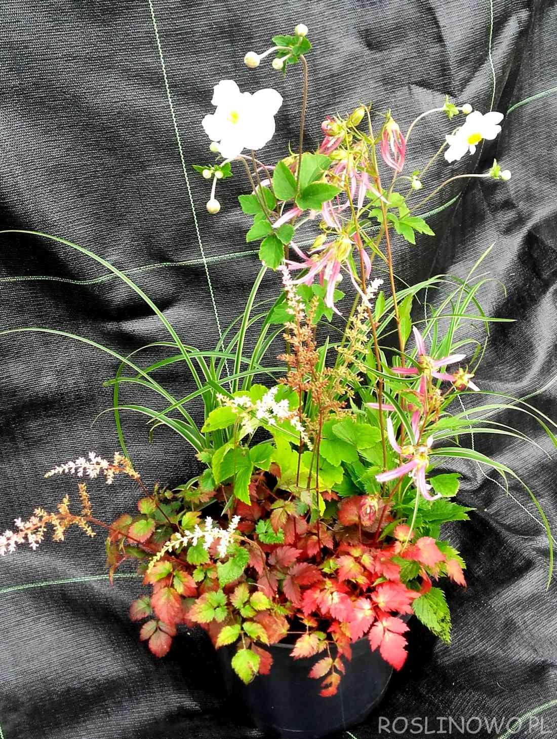 Kompozycja bylin kwitnących jesienią do pojemnika lub na rabatę.