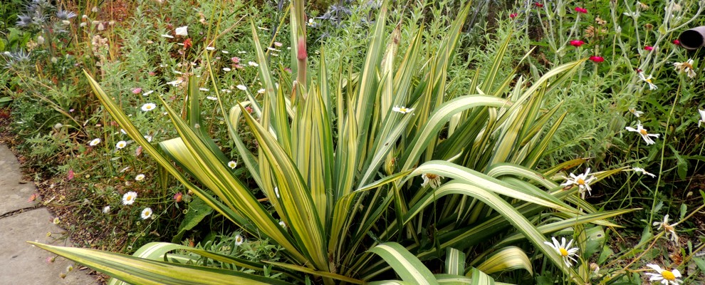 Juka karolińska 'Color Guard' to bylina o egzotycznym wyglądzie.