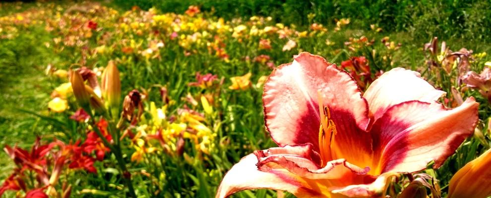 Liliowce to byliny o niewielkich wymaganiach glebowych.