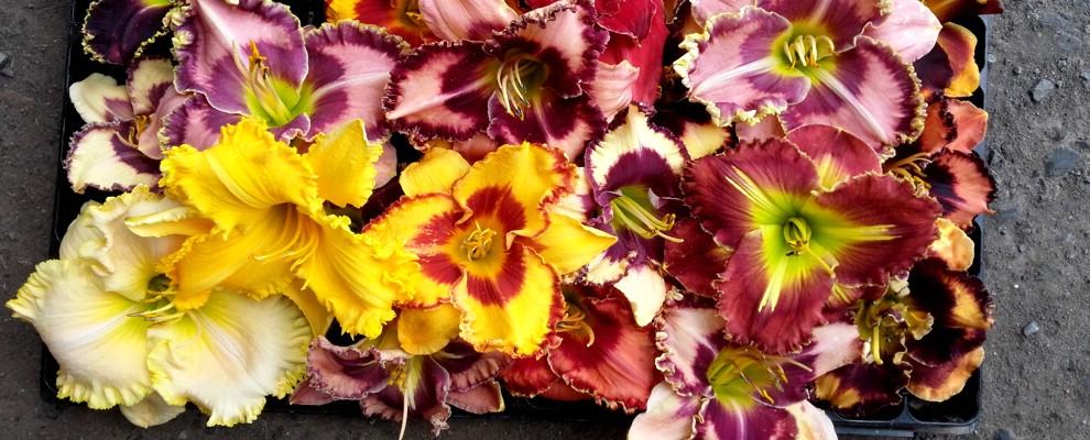 Liliowce posiadają setki odmian o różnobarwnych kwiatach.