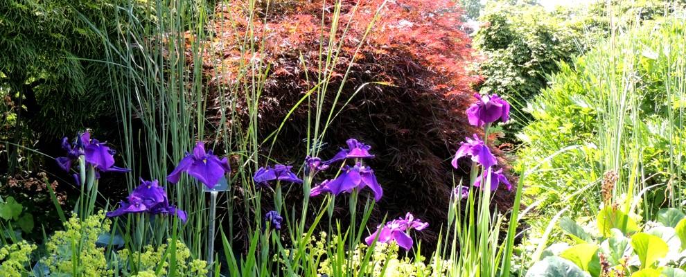 Niebieskie irysy wyraźnie odznaczają się na tle innych bylin i traw.