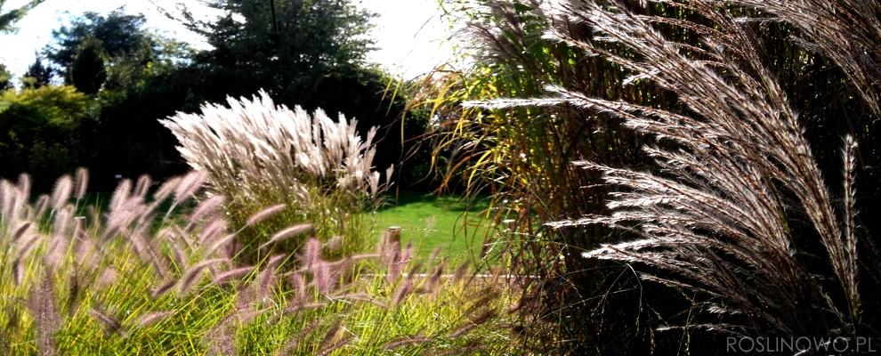 Puszyste kwiatostany traw ozdobnych wieloletnich