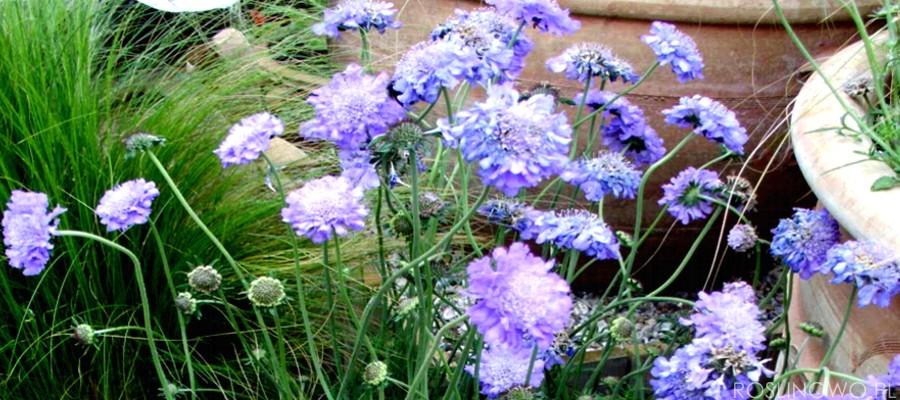Drakiew kaukaska uwielbiana bylina przez miłośników długiego kwitnienia