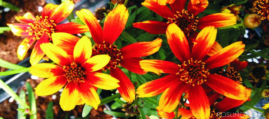Nachyłek to bylina długo kwitnąca i pachnąca.