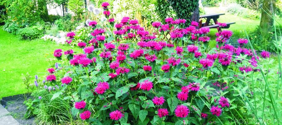 Pysznogłówka ogrodowa, bylina wieloletnia, pachnąca