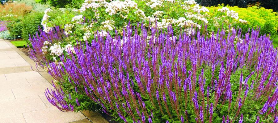 Szałwia omszona idealna pachnąca bylina na rabaty