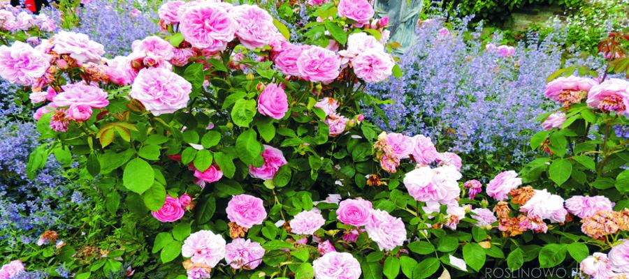 Róża rabatowa lub wielkokwiatowa