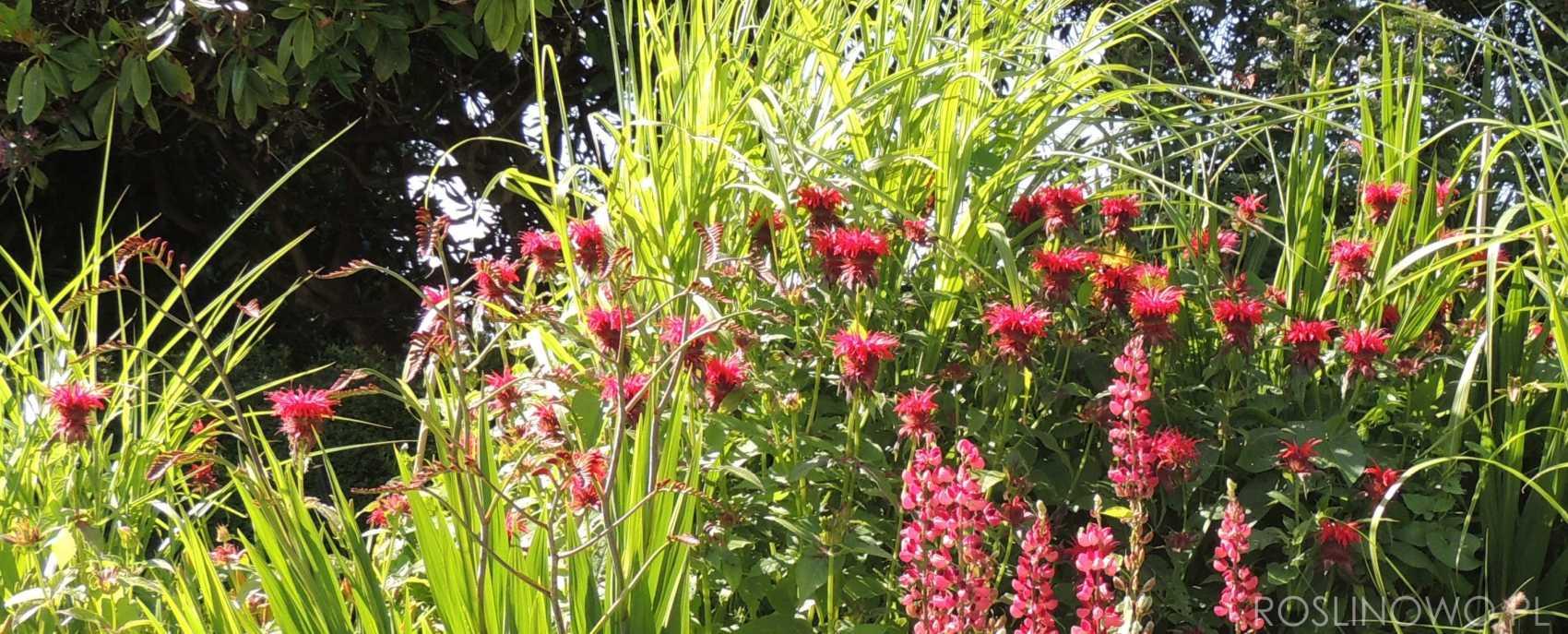 Pysznogłówka ogrodowa, bergamotka - bylina wieloletnia.