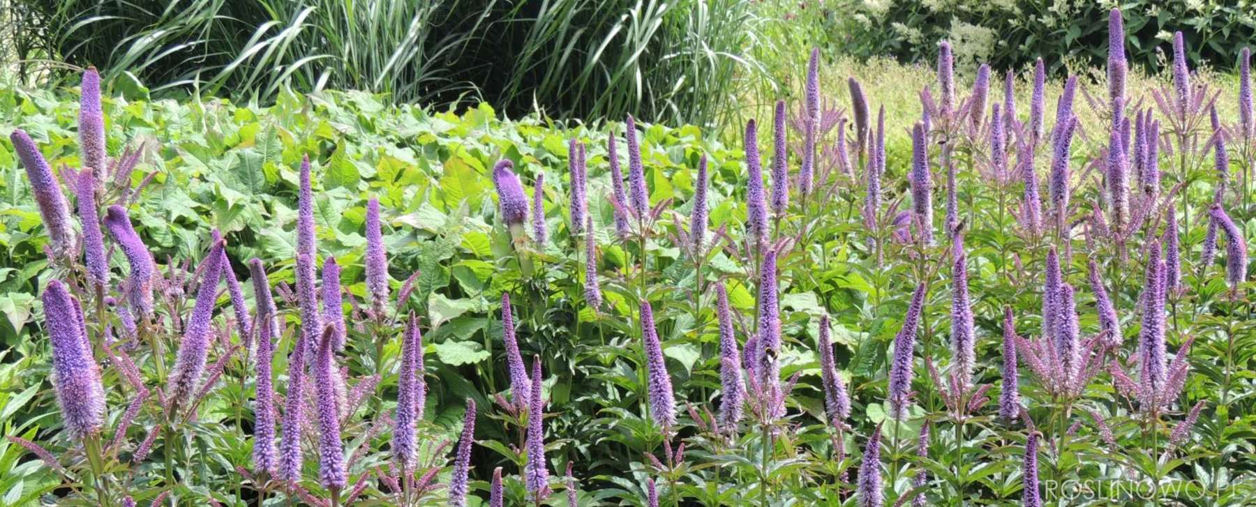 Przetacznik wirginijski imponująca bylina kwitnąca w lecie