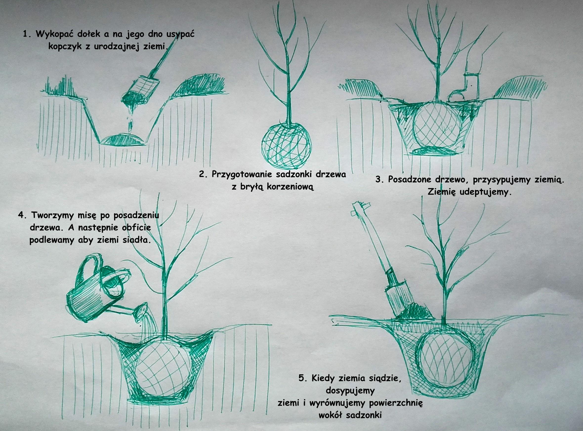 Zasady sadzenia drzew z bryłą korzeniową.