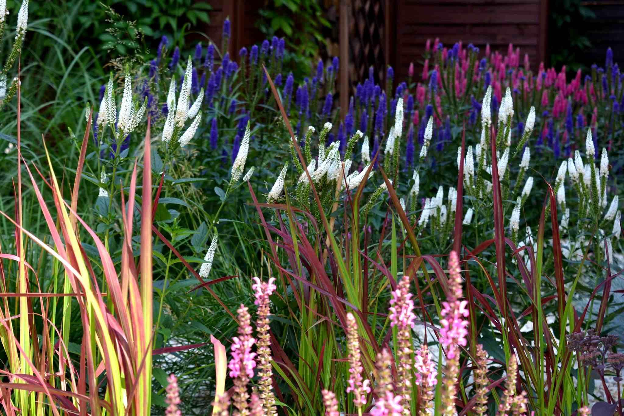 byliny długo kwitnące w rabacie bylinowej - ekspresja koloru