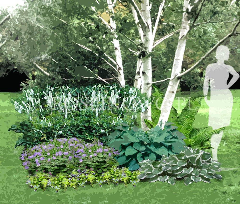 Wizualizacja do projektu rabaty bylinowej w cieniu drzewa.
